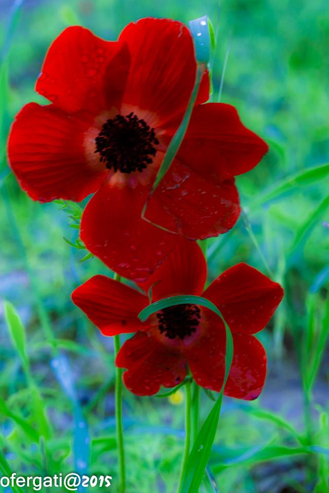 עופר פרחים